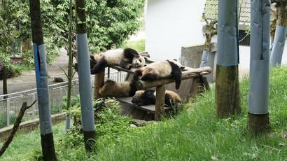 Молодые панды отдыхают