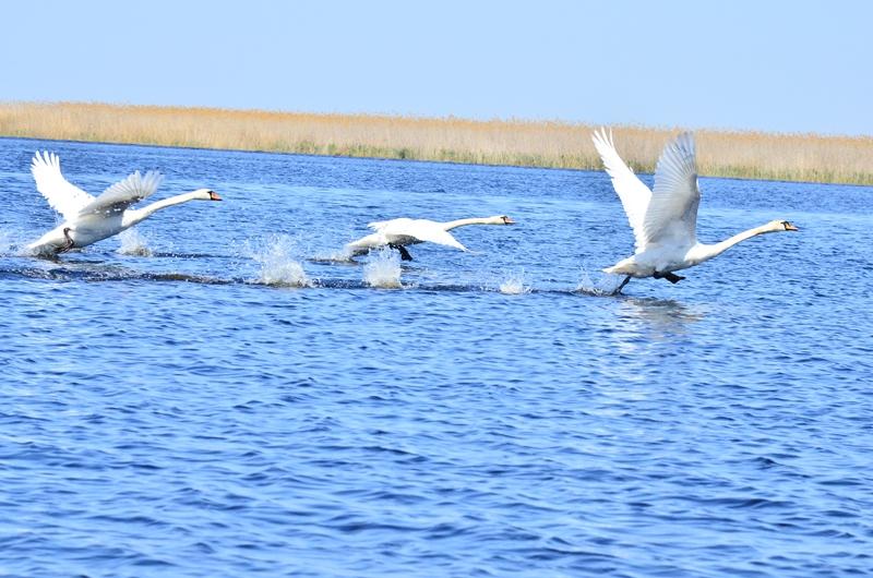 Лебеди на взлете